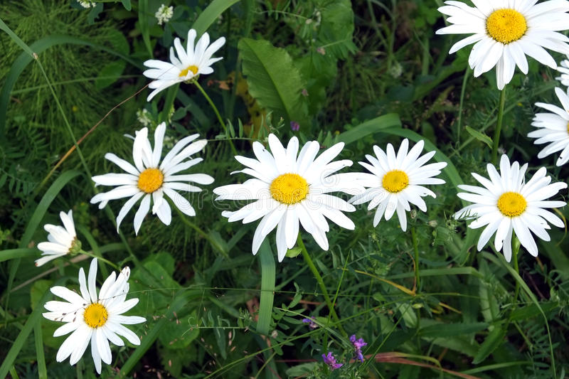 Lot of field daisy flowers on meadow in summer day closeup royalty free stock photos