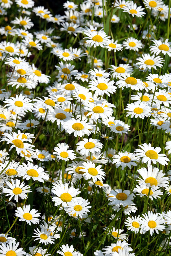 Lot of field daisy flowers on meadow in summer day closeup stock images