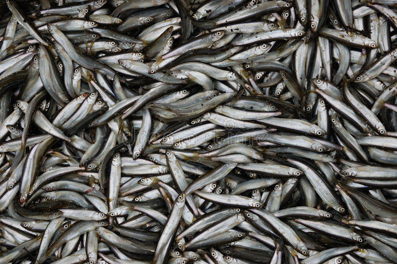 A lot of fish royalty free stock image
