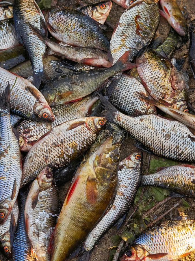A lot of fish lies on the shore royalty free stock photos