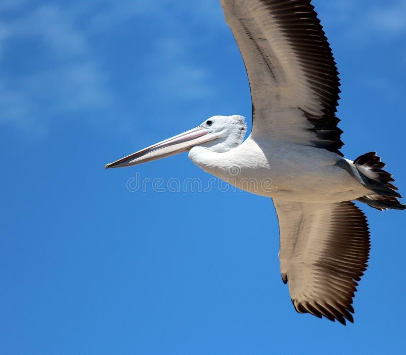 lot folujący pelikan zdjęcie stock