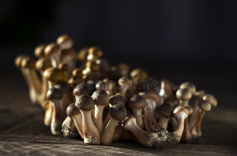 A lot of fresh and cut honey agaric armillaria on wooden background. Autumn edible mushrooms royalty free stock photo