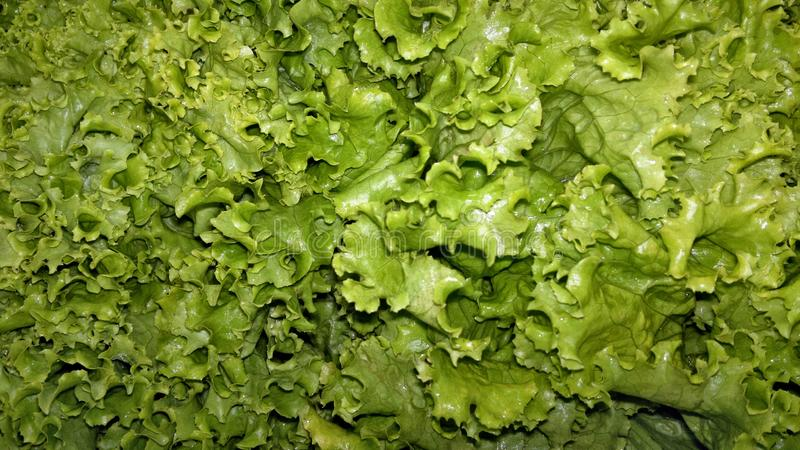 A lot of freshly picked lettuce leaves royalty free stock photos