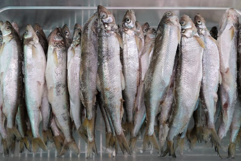Lot of frozen smelt fish in freezer at seafood market. Lot of frozen smelt fish with silver scales in freezer at seafood market. Close-up flat view. Concept stock photography