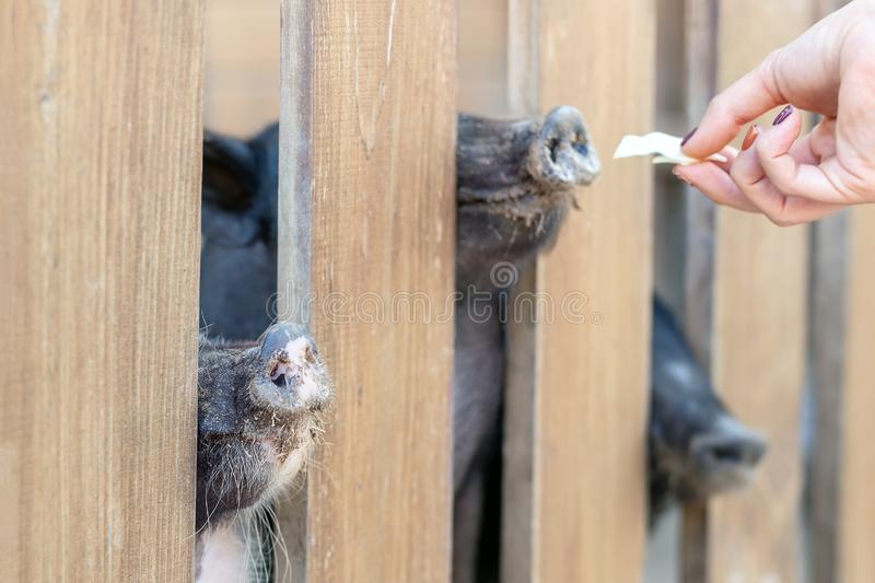 Lot of funny pig noses peeking through wooden fence at farm. Human hand feeding pigs with vegetables. Piglets sticking snouts royalty free stock image