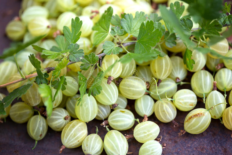 A lot of gooseberry stock image