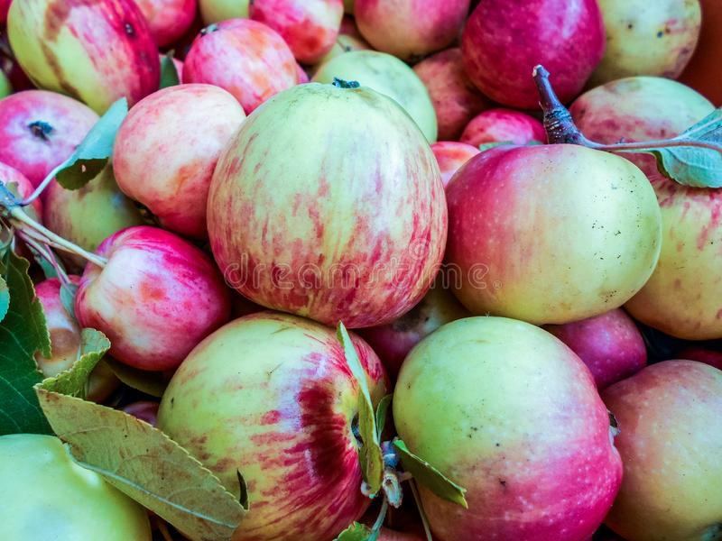 A lot of green red organic fresh sweet apples. Fresh raw lot of green red apples on counter, many organic fresh sweet apples, Pile apples forming a background royalty free stock photo