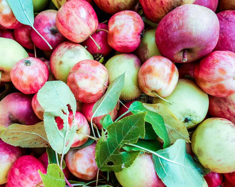 A lot of green red organic fresh sweet apples. Fresh raw lot of green red apples on counter, many organic fresh sweet apples, Pile apples forming a background royalty free stock photography