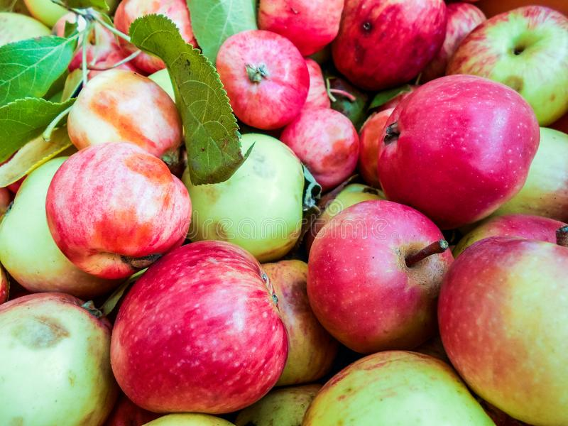 A lot of green red organic fresh sweet apples. Fresh raw lot of green red apples on counter, many organic fresh sweet apples, Pile apples forming a background stock photography