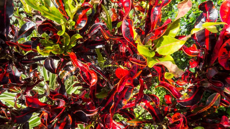 Tropical leaves in the bright sunlight of the Caribbean. A lot of green and red tropical leaves in the bright sunlight of the Caribbean royalty free stock photo