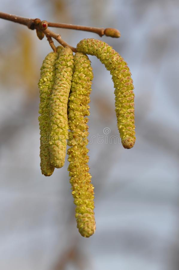 Hazel catkins at a sunny day. A lot of Hazel catkins at a sunny day in early spring time. Hazel Nut stock photos