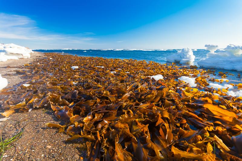 A lot of Laminaria Kelp is seaweed washed ashore on the beach of Sea of Okhotsk on winter season. royalty free stock images