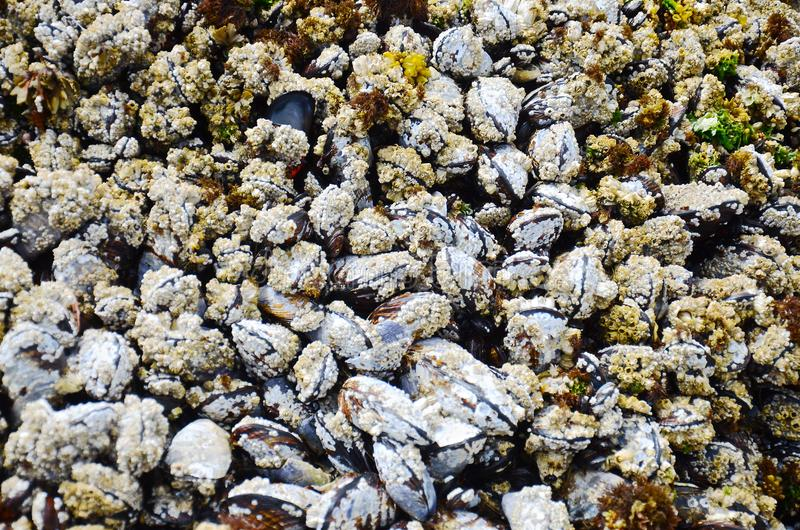 A lot of live mussels on the rock form graphic texture royalty free stock photos