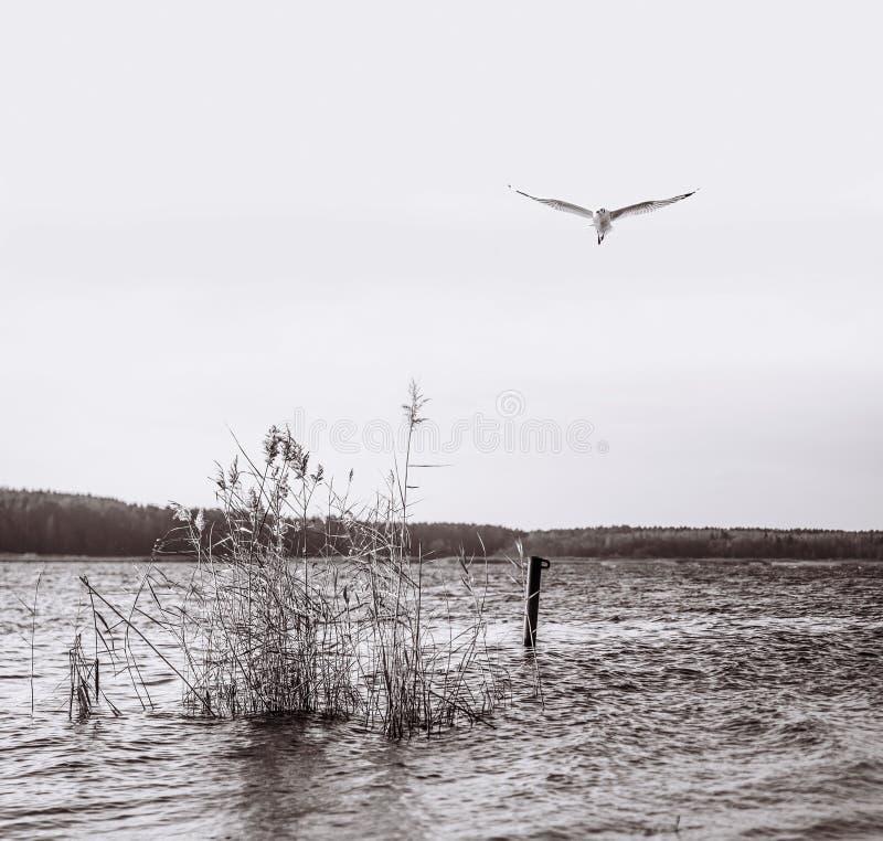 Lot mewy śledzia nad jeziorem zdjęcie royalty free