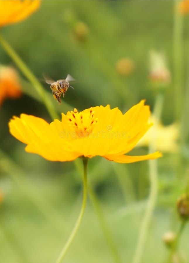 Lot miodowa pszczoła fotografia royalty free