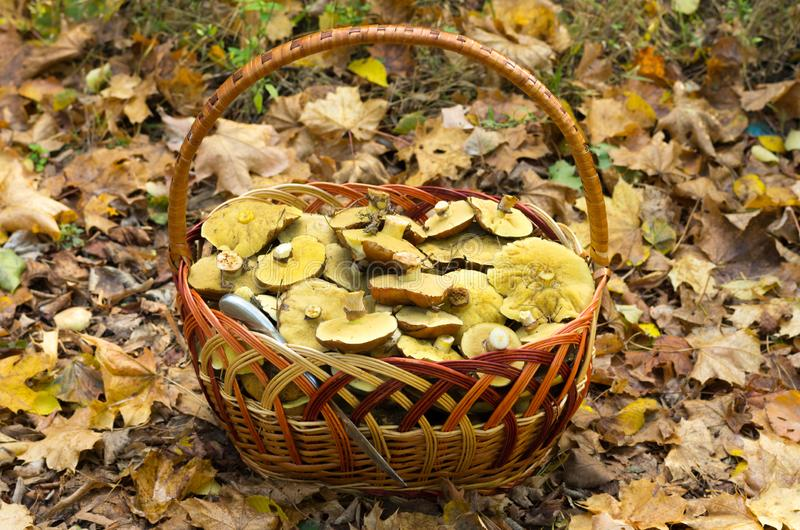 A lot of mushrooms in a basket made of vines royalty free stock photos
