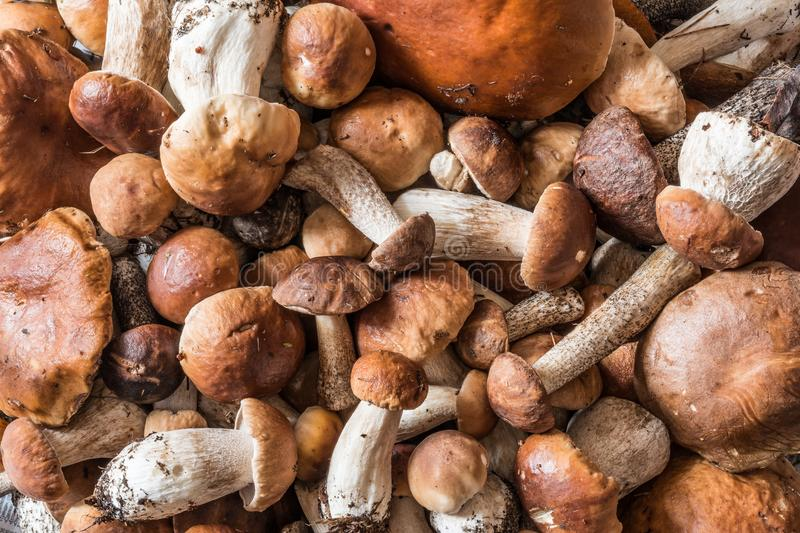 A lot of mushrooms boletus and red-capped scaber stalk lie a bunch. Nature background royalty free stock photos