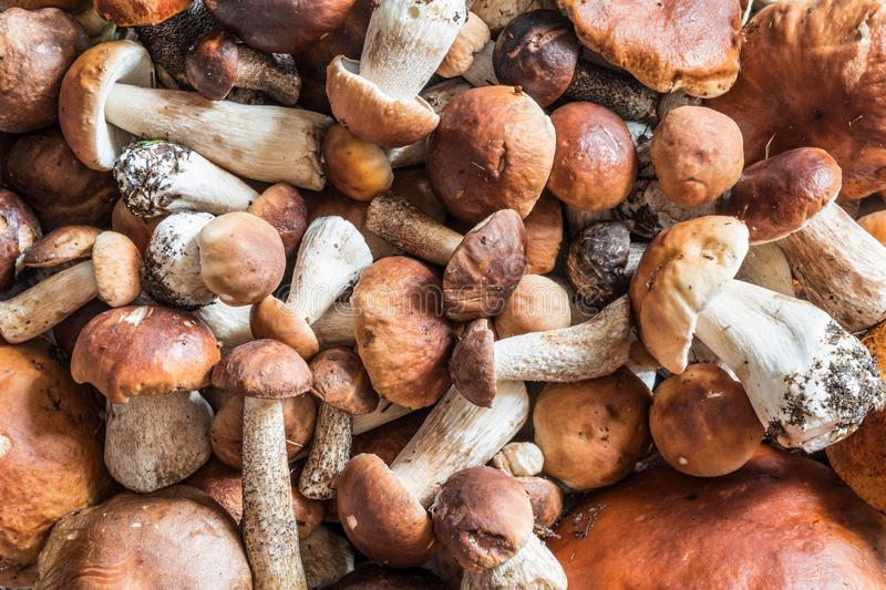 A lot of mushrooms boletus and red-capped scaber stalk lie a bunch. Nature background stock photo