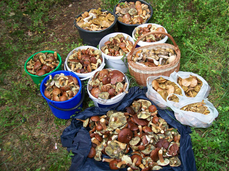 Download A lot of mushrooms stock image. Image of rash, autumn - 32419441