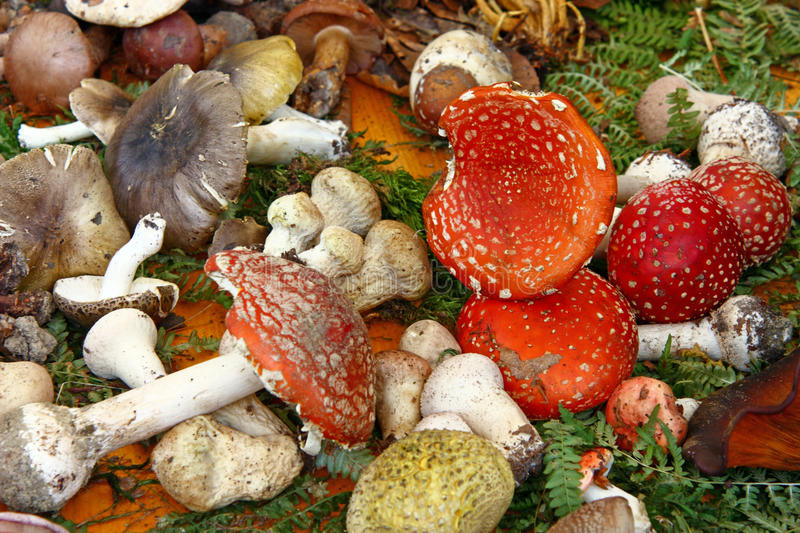 Lot off mushrooms stock images