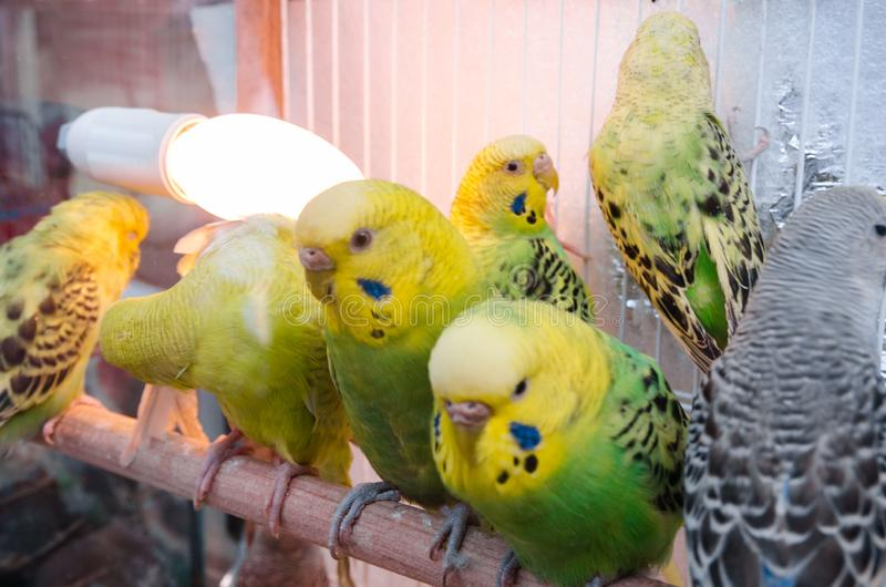 Parrots in a cage royalty free stock photo