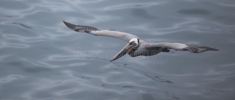 lot pelikana brown zdjęcia stock