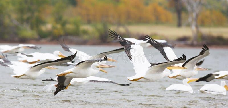 Lot pelikany obrazy royalty free