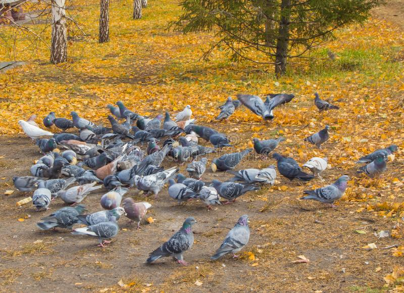 A lot of pigeons around scattered feed. Blurred focus royalty free stock photography