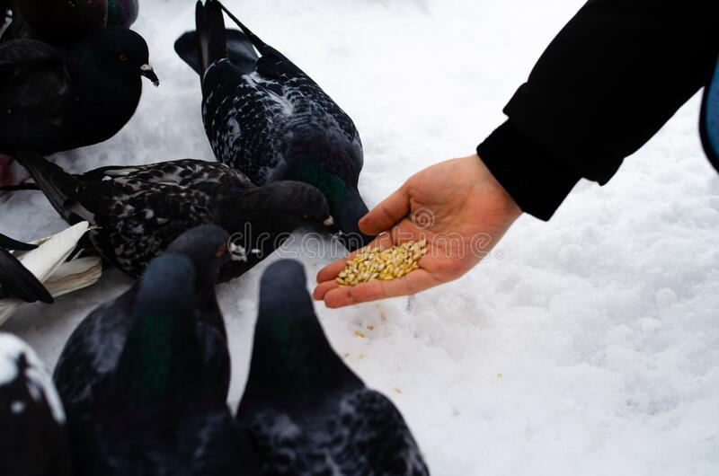 A lot of pigeons. Pigeons in a bunch and one at a time. Feeding the pigeons. Birds in the winter. Pigeon macro, red paw, pigeon. Leg. A man holds a dove on his royalty free stock images