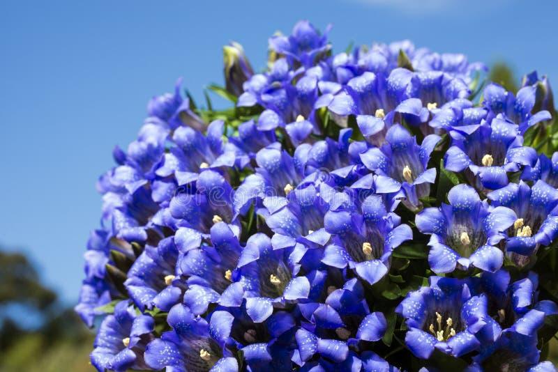 Purple gentian flowers. Lot of purple gentian flowers under blue sky royalty free stock photo