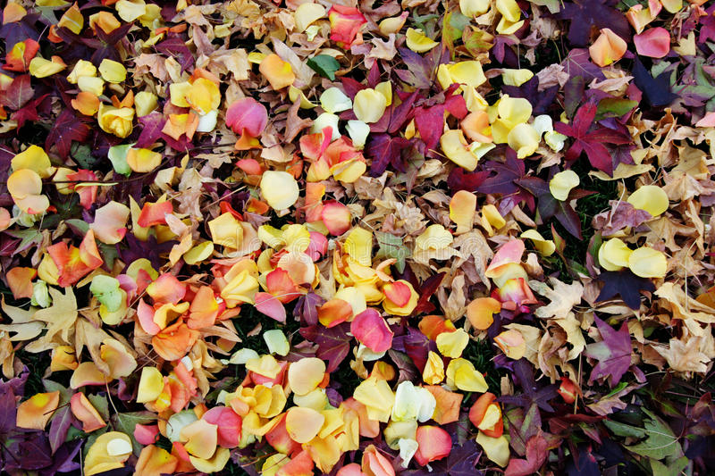 A lot of rose petals royalty free stock photo
