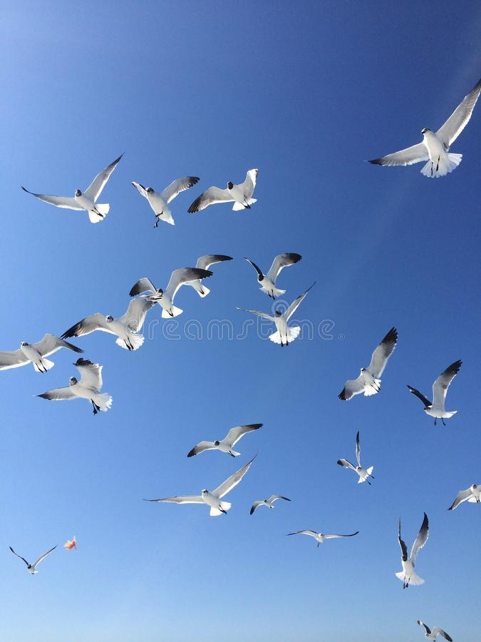 It is a lot of seagull highly in the sky. Close up group of the big white seagulls flying highly in the blue sky of a cloud stock photo