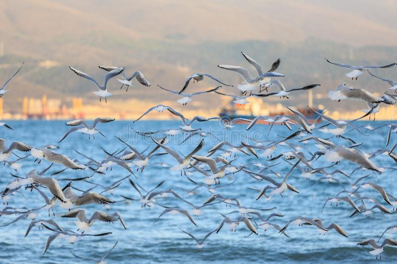 A lot of seagulls fly against the background of the opposite shore of the bay and the ship.  royalty free stock image
