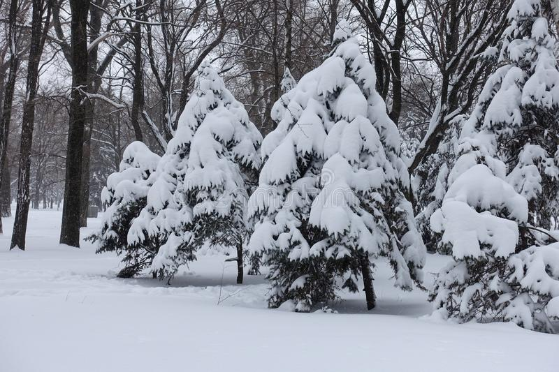 A lot of snow on branches of spruces in winter. A lot of snow on branches of spruce trees in winter stock photos