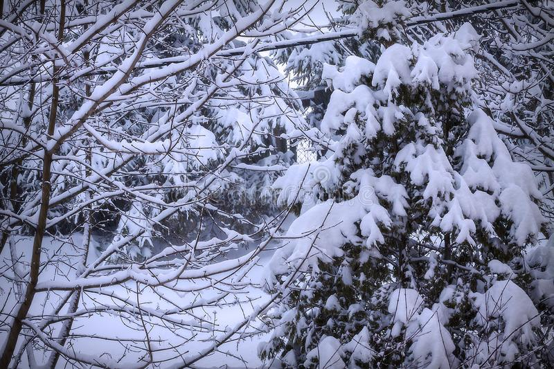 A lot of snow on the bushes and trees. Season, nature, winter, forest, weather, white, landscape, outdoor, background, natural, autumn, day, wood, park, cold stock photography