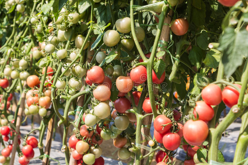 A lot of tomato stock image