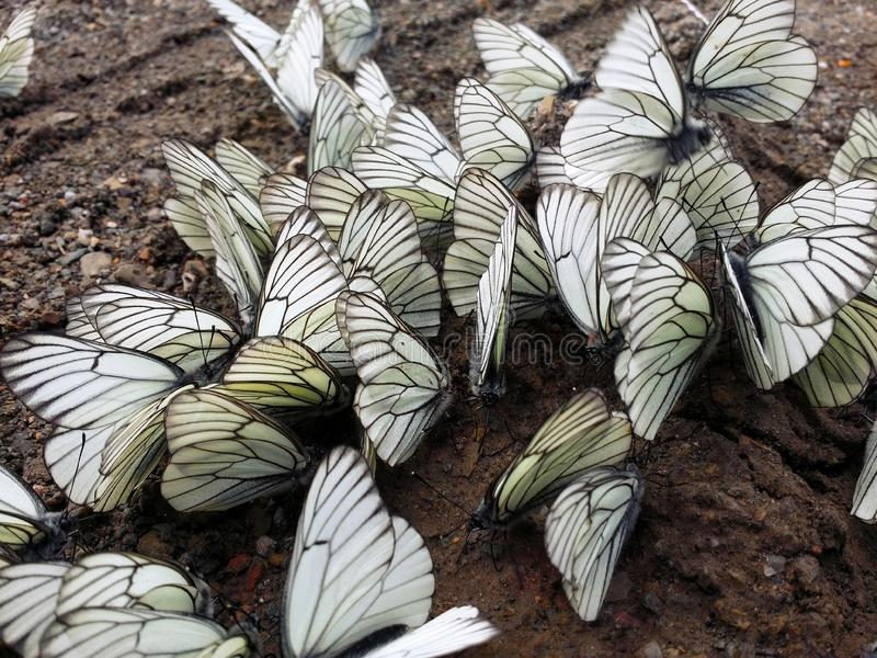 A lot of white and black-veined cabbage butterfly sitting on wet ground. Close-up. Soft focus royalty free stock photo