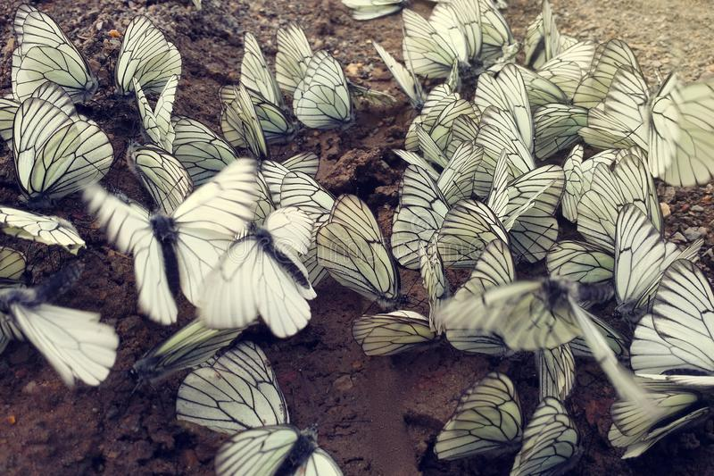A lot of white and black-veined cabbage butterfly sitting on wet ground. Close-up. Toned with sunshine rays stock photos