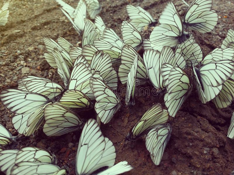 A lot of white and black-veined cabbage butterfly sitting on wet ground. Close-up. Toned with sunshine rays stock photo