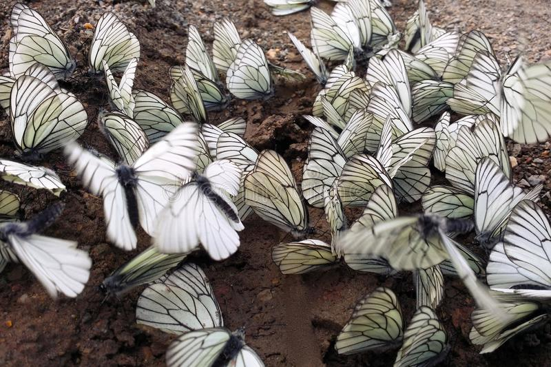A lot of white cabbage butterfly flying and sitting on wet ground. Close-up. Soft focus stock photos