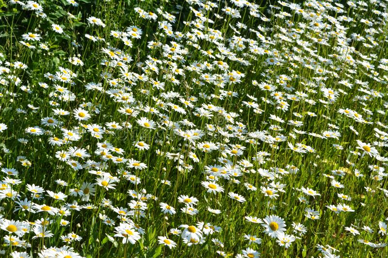 A lot of white flowers of chamomile in sunny summer day. Beautiful meadow with daisies royalty free stock images