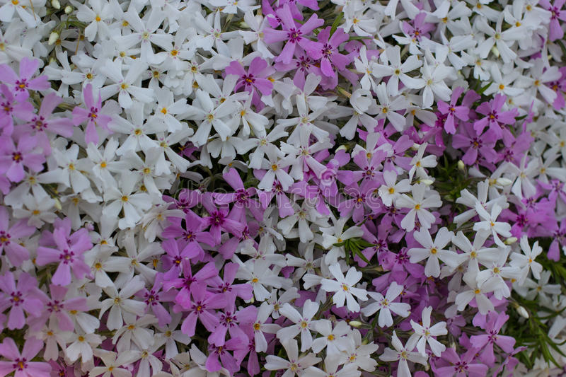 A lot of white and lilac lowers royalty free stock photo