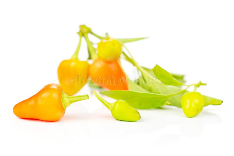 Hot red orange chili pepper isolated on white. Lot of whole hot red orange chili pepper three in focus isolated on white background royalty free stock photo