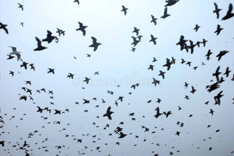 A lot. Whole sky covered with birds. Flying Tufted Puffins stock photos