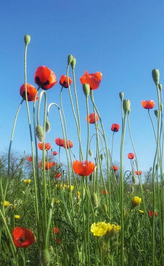 Poppies and blue sky royalty free stock photography