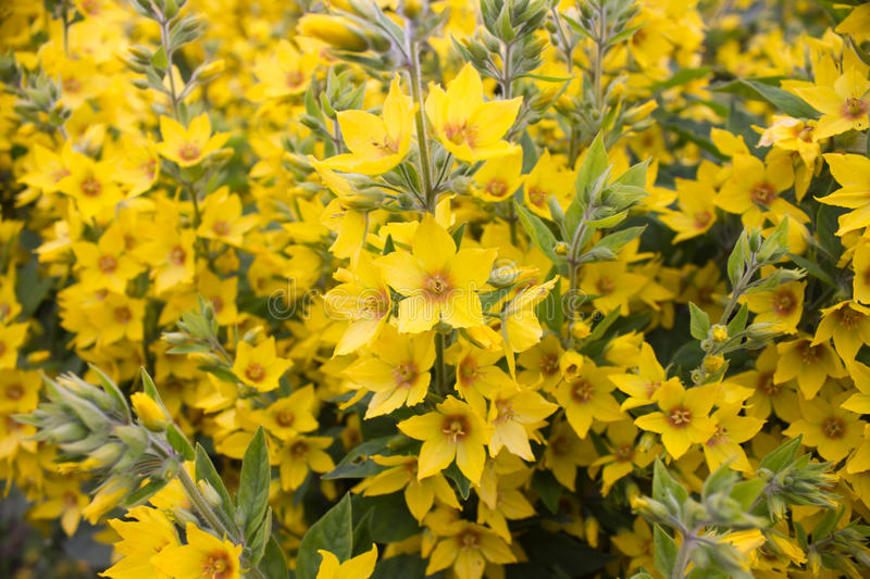 A lot of yellow flowers royalty free stock images