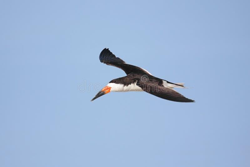 lota czarny skimmer zdjęcia stock