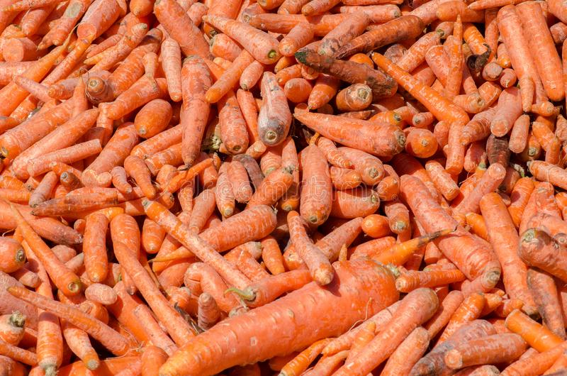 Lote das cenouras para a alimentação dos cavalos imagens de stock