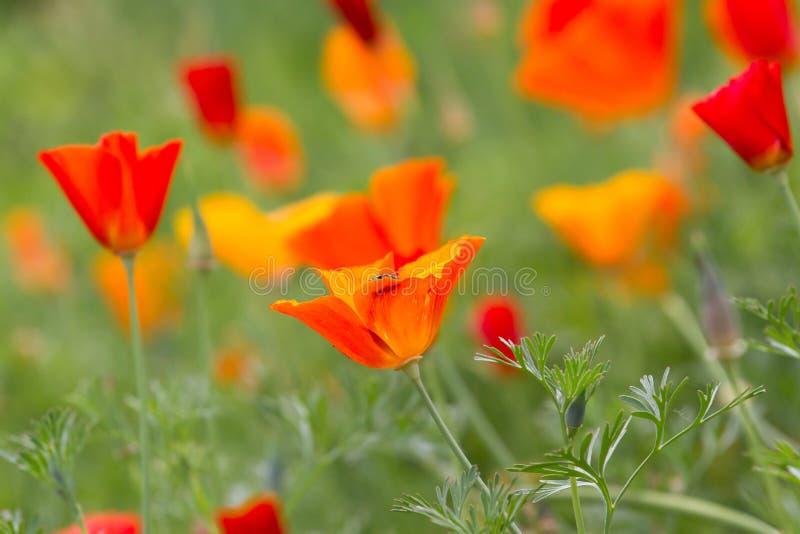 Lote das papoilas que crescem na área no jardim botânico Dia da relembrança fotos de stock royalty free