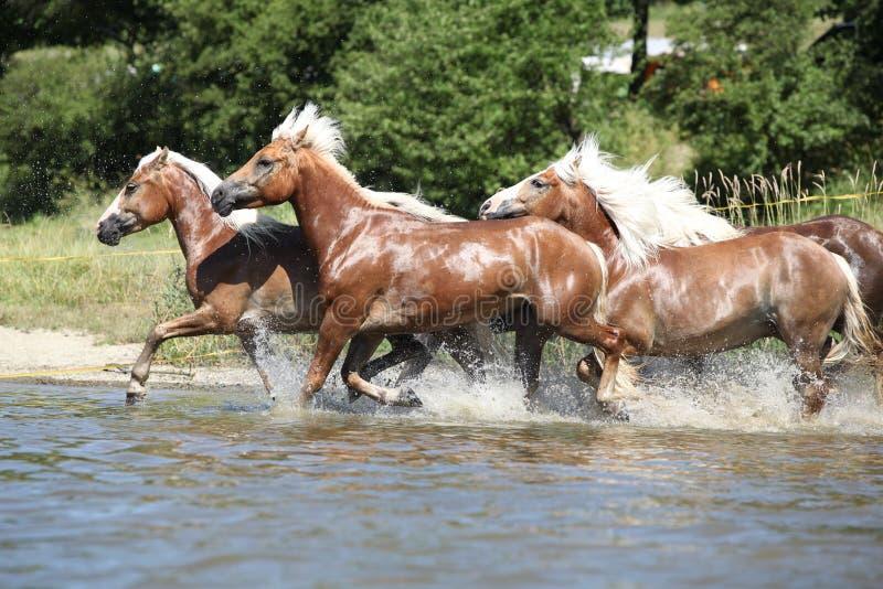 Lote de caballos de la castaña que corren en agua imagen de archivo